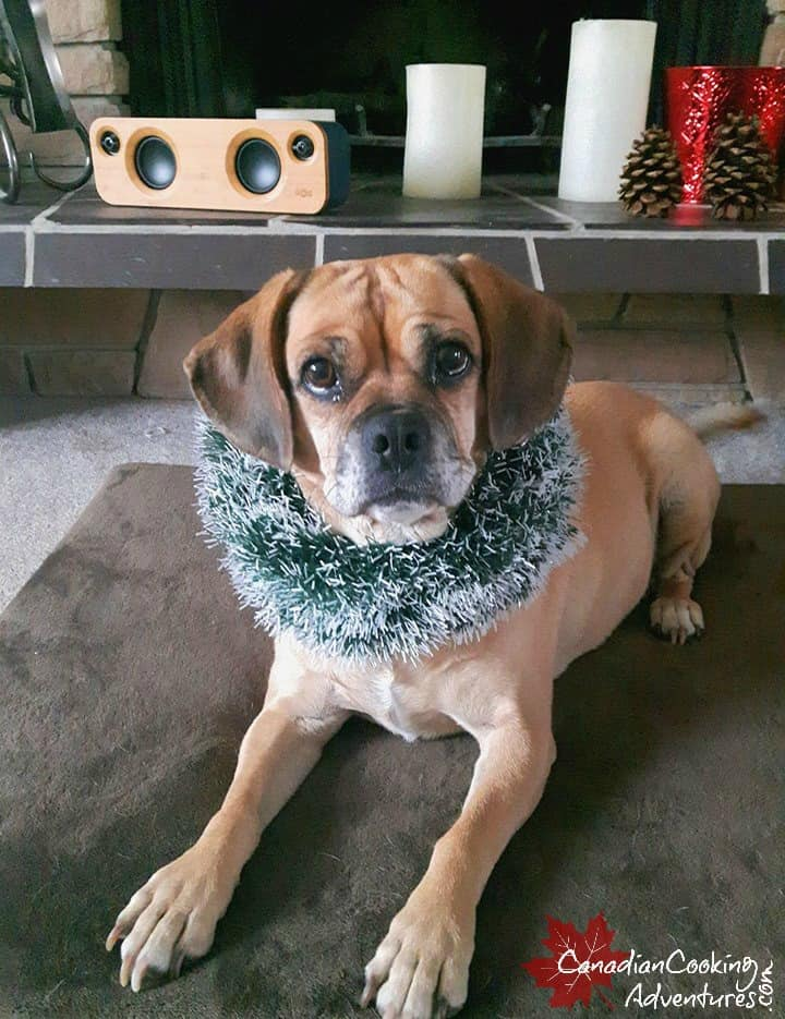 puggle dog posing for her christmas picture