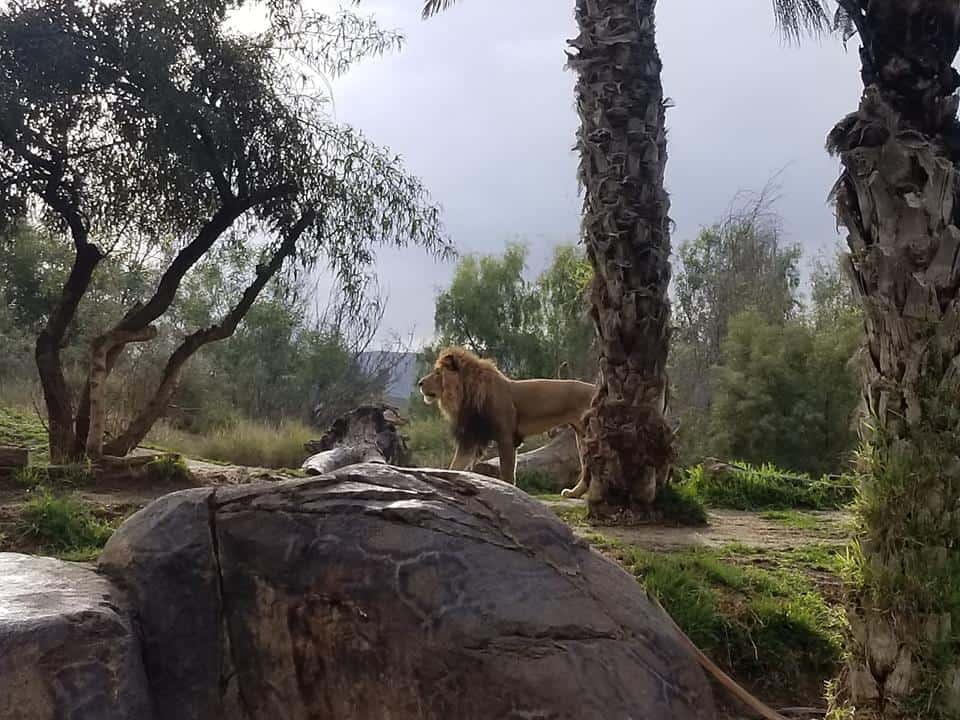 Lion at the Roar and Snore in San Diego Safari Park